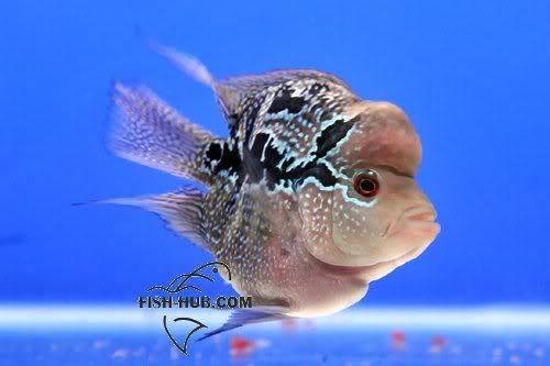 Fish-Hub Competition 2008 - Flower Horn B Fishhub200815
