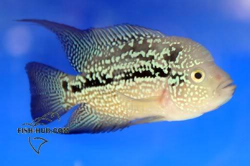 Fish-Hub Competition 2008 - Flower Horn B Fishhub200817