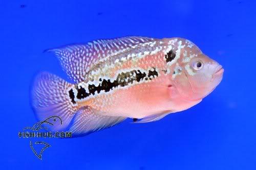 Fish-Hub Competition 2008 - Flower Horn B Fishhub200818