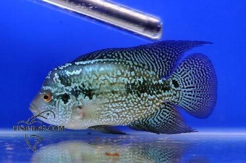 Fish-Hub Competition 2008 - Flower Horn B Fishhub200819