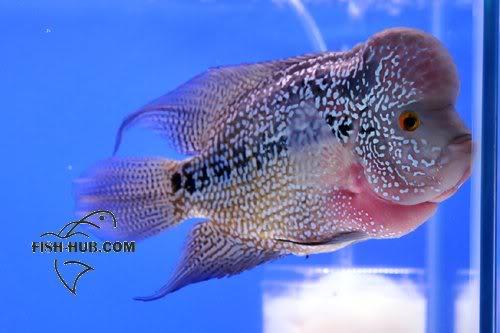 Fish-Hub Competition 2008 - Flower Horn B Fishhub200824