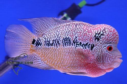 Fish-Hub Competition 2008 - Flower Horn B Fishhub200825