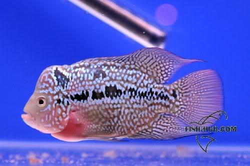 Fish-Hub Competition 2008 - Flower Horn B Fishhub200826