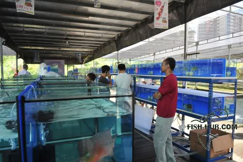 Fish-Hub Competition 2008 - Flower Horn & Goldfish Fishhub20083