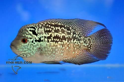 Fish-Hub Competition 2008 - Flower Horn B Fishhub20085