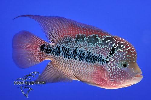 Fish-Hub Competition 2008 - Flower Horn B Fishhub20088