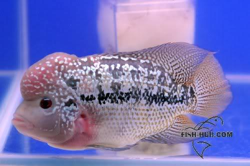 Fish-Hub Competition 2008 - Flower Horn B Fishhub20089
