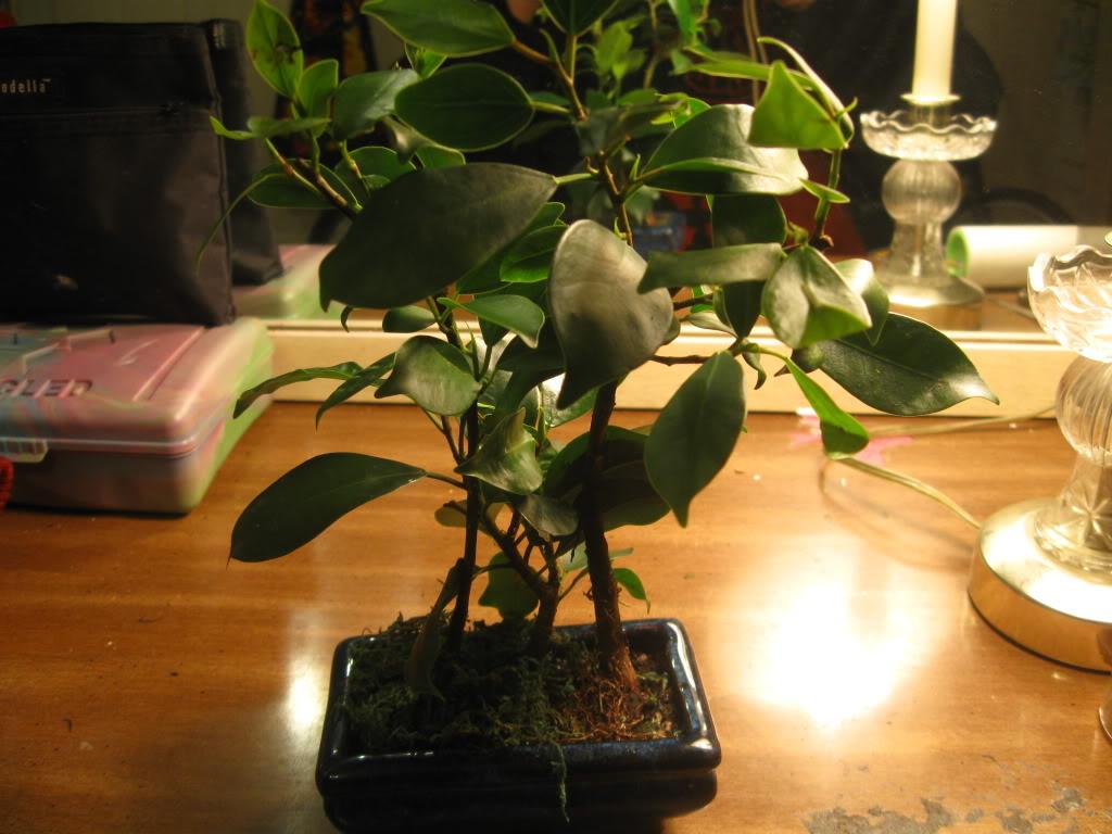 Ficus question