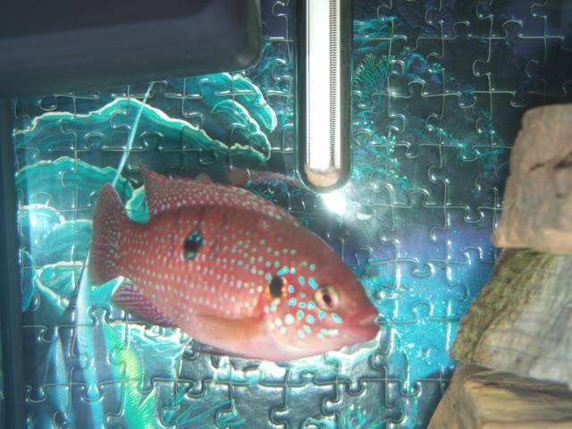 Présentation de mes poissons africains et de moi meme ! FILE0050