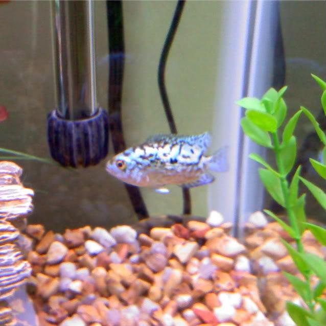 Electric Blue Jack Dempsey Cichlid (Cichlasoma octofasciatum var.) - Page 3 0809090906-1