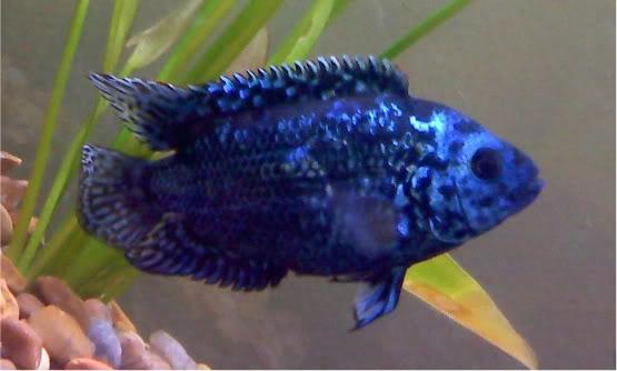 Electric Blue Jack Dempsey Cichlid (Cichlasoma octofasciatum var.) - Page 3 EBJD