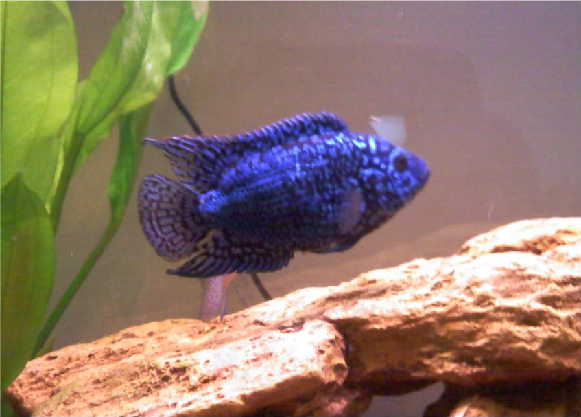 Electric Blue Jack Dempsey Cichlid (Cichlasoma octofasciatum var.) Ebjd2