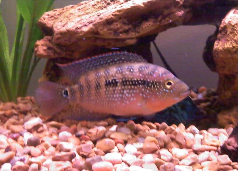 Jack dempsey cichlid cichlasoma octofasciatum for Jack dempsy fish