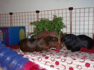 The 3Piggles CarrotTopLog005