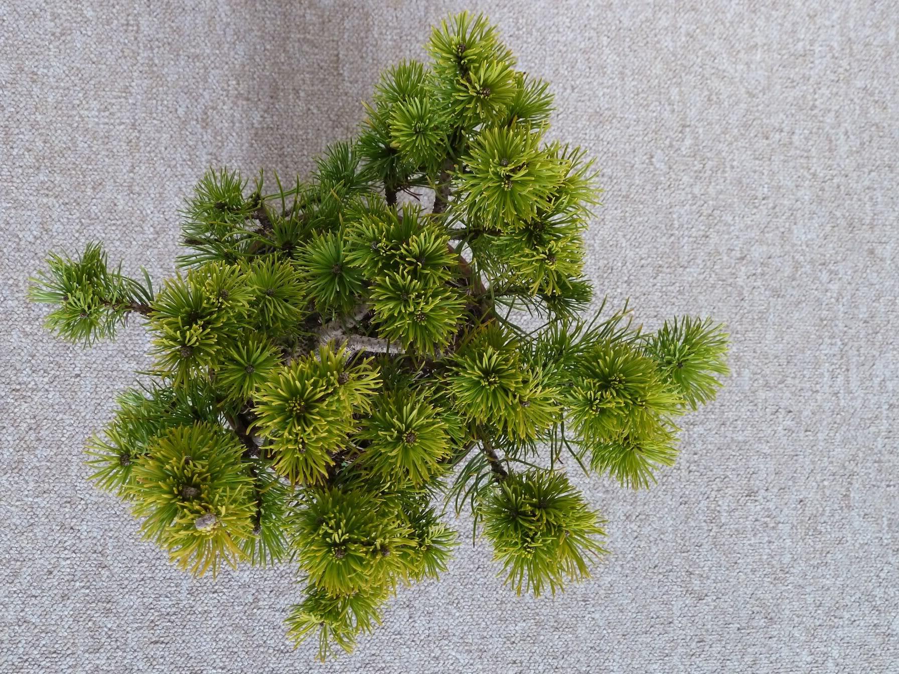 Ayuda con poda de formación de pinus mugo P1010328
