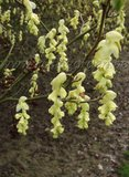 Les Corylopsis. Par Phil 59 Th_Corylopsishypoglaucavarglaucescens