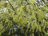 Les Corylopsis. Par Phil 59 Th_Corylopsisspicata