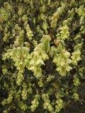 Les Corylopsis. Par Phil 59 Th_corylopsissinensis