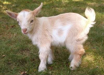 2009 yeaR of the ox Goat2