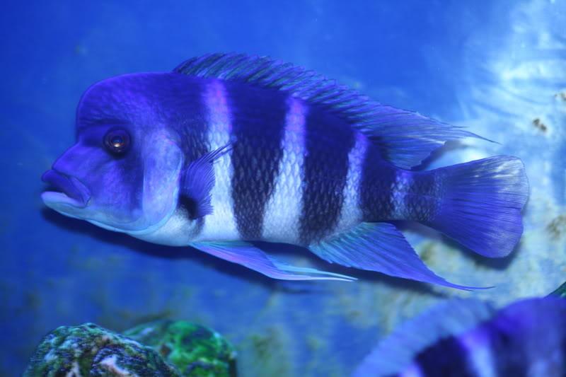 Cyphotilapia gibberosa cobalt blue IMG_1366