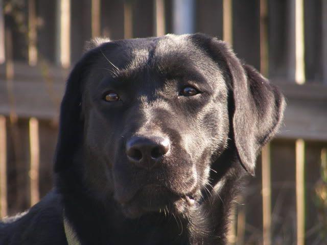 """""""English"""" Labrador Retrievers- Litter Announcement 2008_1007Bella18months0162"""