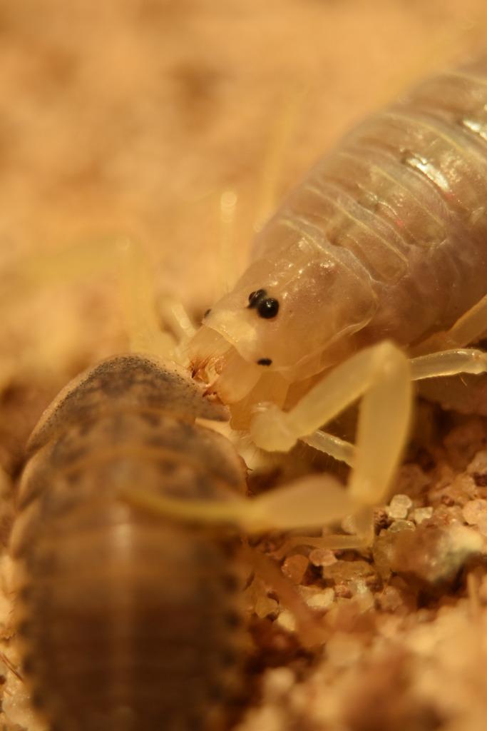 Lokal's Scorpions (Large Pics) DSC_0053_zpsudhjrsic