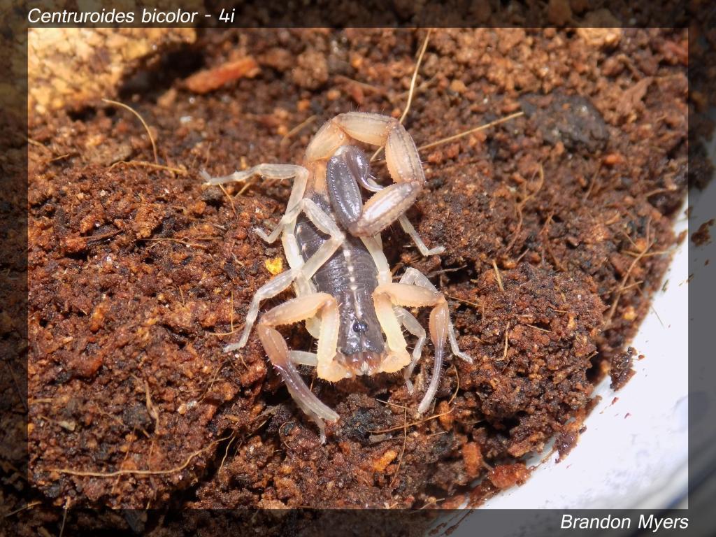 Lokal's Scorpions (Large Pics) Cbicolor1_zps96bedf3c