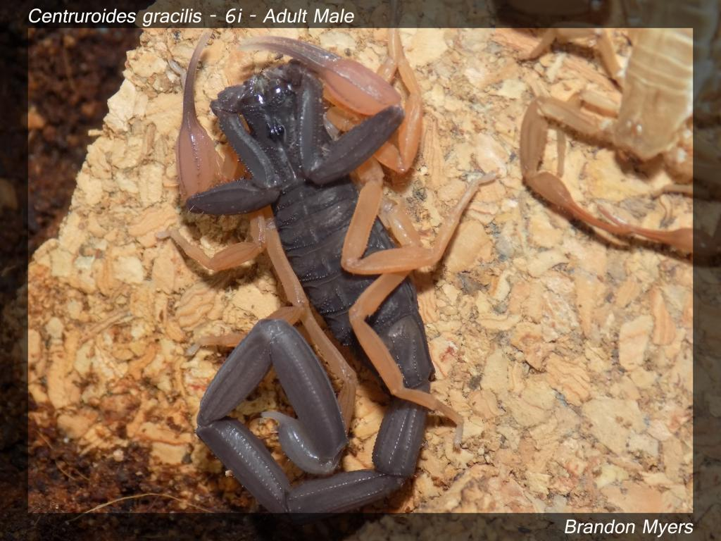 Lokal's Scorpions (Large Pics) Cgracilis4_zps554ce9b2