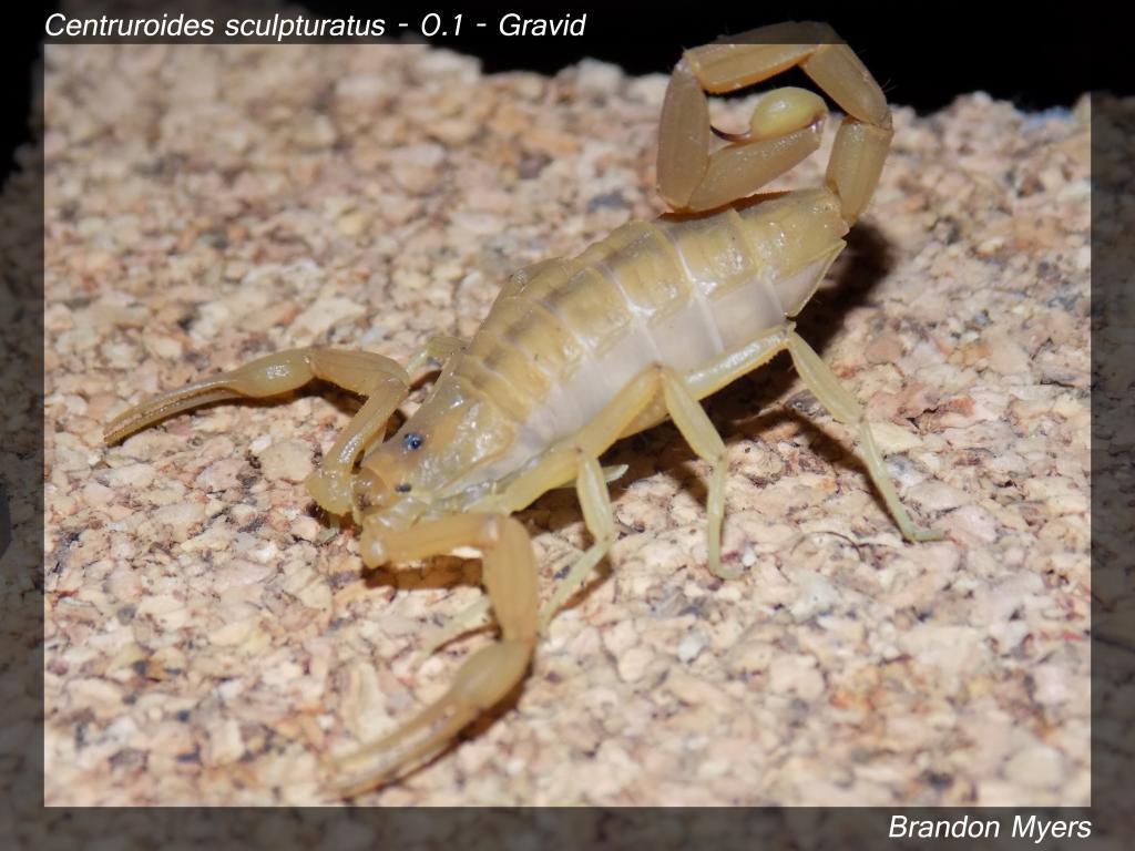 Lokal's Scorpions (Large Pics) Csculp_zps6e35805e