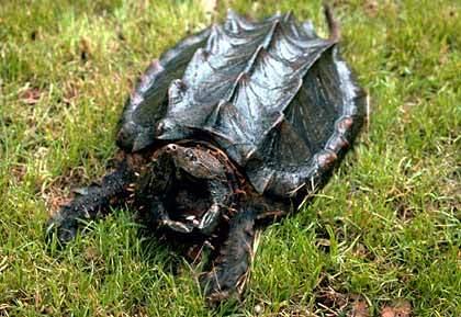 Jinsei Alligator-snapping-turtle