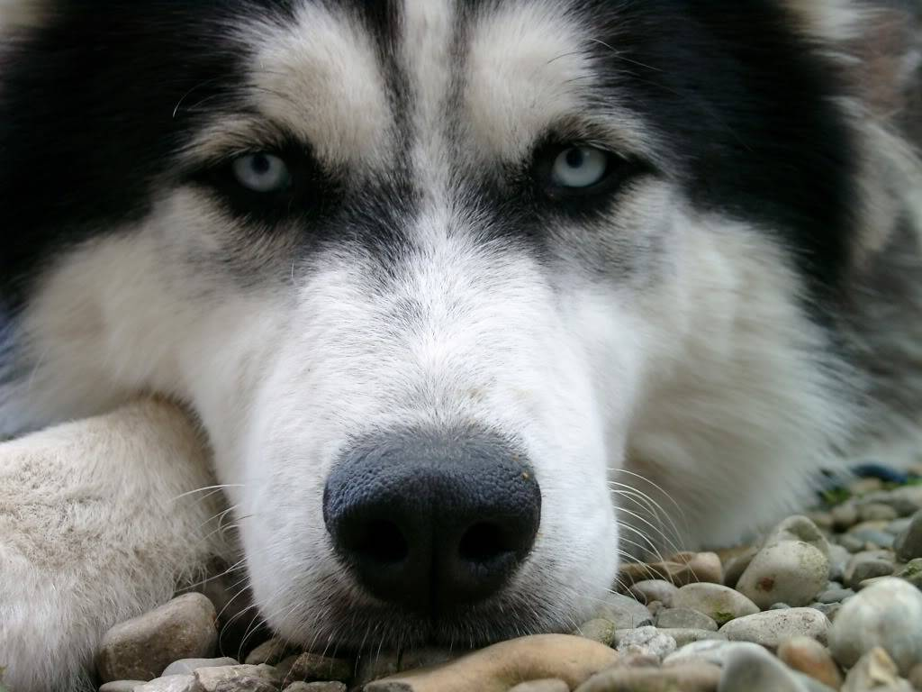 Purrty or awesome piccies! Husky_boenisch_2005