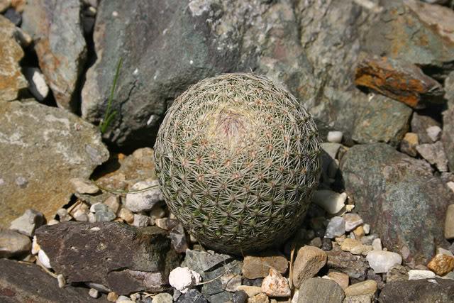 In need of ID 10_Mammillaria