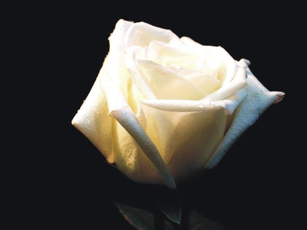 Nadji sliku! - Page 3 White-rose