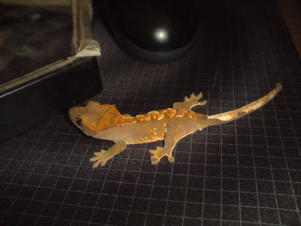 Some new geckos, wanted to share DSC00646