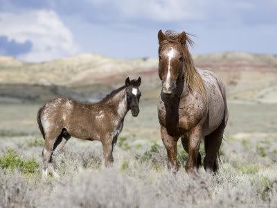 My horses :] 1145904Wild-Horses-Red-Roan-Stallio