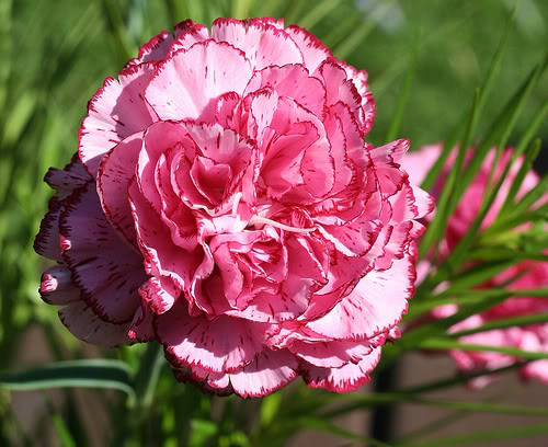 موسوعه بجميع انواع الزهور Carnation