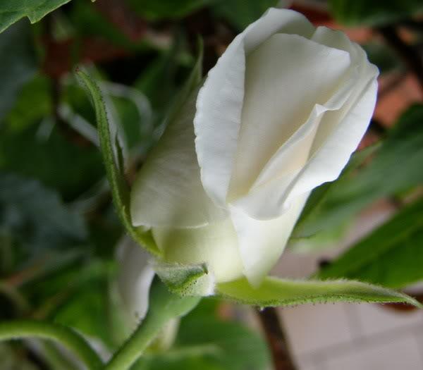 slike cvijeca 1ruzapj2