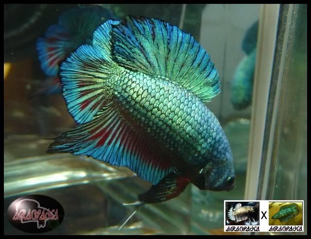 M Black copper dragon PK X F DTPK breen lace : les jeunes - Page 2 BlackdragonXDTPK2