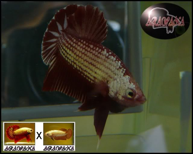 Red dragon 4 ème génération P1390232