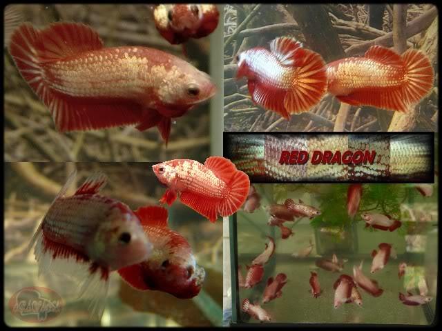 Red dragon 4 ème génération REDDRAGON-1