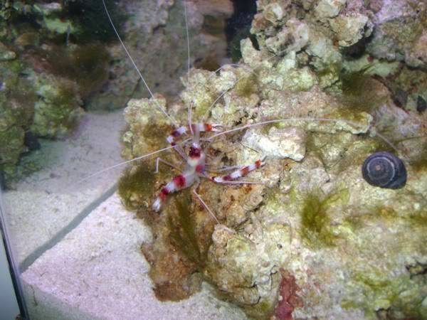 my 29 gallon tank - Page 2 Coral_banded_shrimp