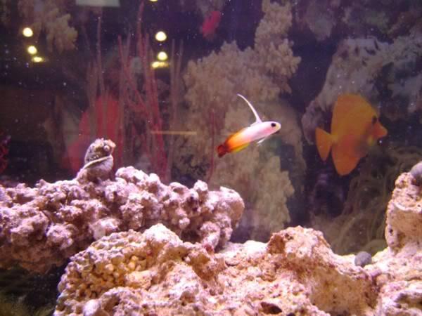 my 29 gallon tank - Page 2 Firefish