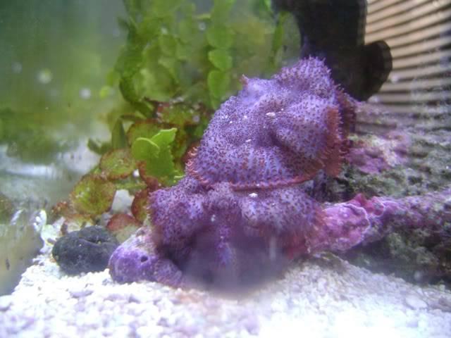 melting mushroom Purple_shrooms