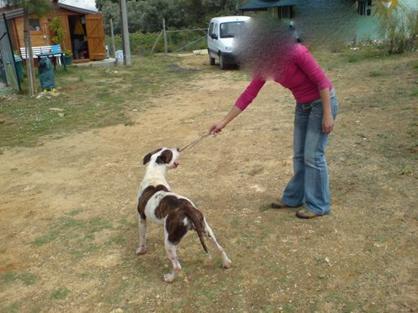 "Shiva, pitbull, Fêmea, 2 anos, Margem Sul - ""a doçura"" 230520_"