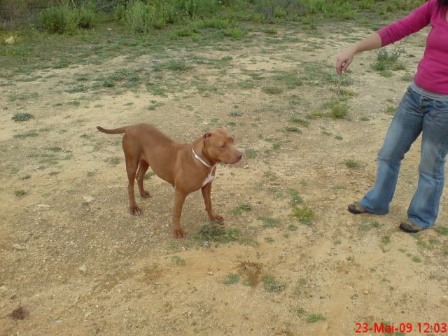 "Lia, doce pitbull com Leishmaniose - ""a nossa protegida"" 230531"