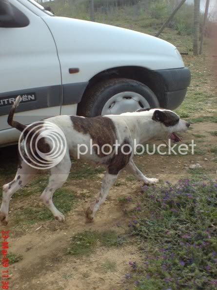 "Shiva, pitbull, Fêmea, 2 anos, Margem Sul - ""a doçura"" 23057"