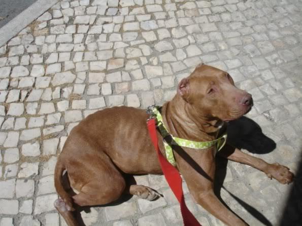 """Lia, doce pitbull com Leishmaniose - """"a nossa protegida"""" DSC04534"""