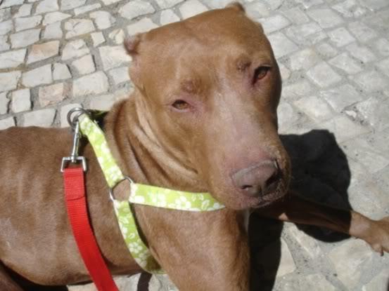 """Lia, doce pitbull com Leishmaniose - """"a nossa protegida"""" DSC04536"""