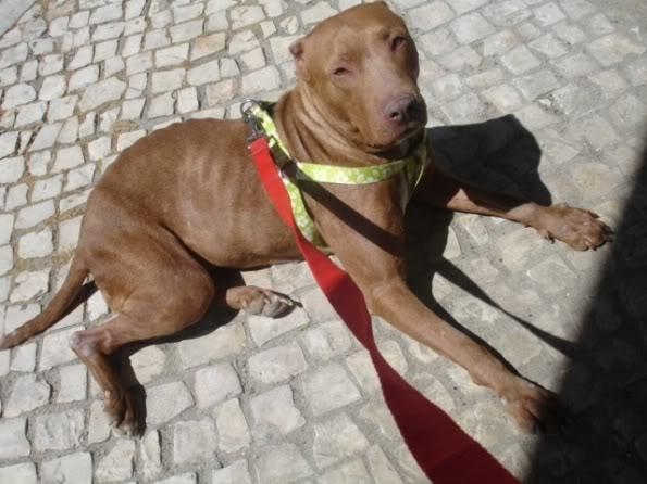 """Lia, doce pitbull com Leishmaniose - """"a nossa protegida"""" DSC04537"""