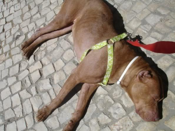 """Lia, doce pitbull com Leishmaniose - """"a nossa protegida"""" DSC04538"""